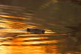 europan beaver(castor fiber) in sunset poster