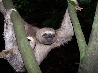 sloth (choloepus didactylus)