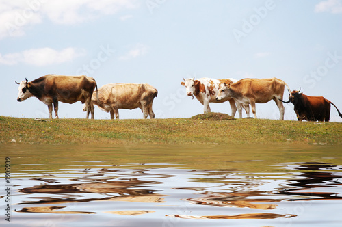 cows at the lake and their reflections in the wate