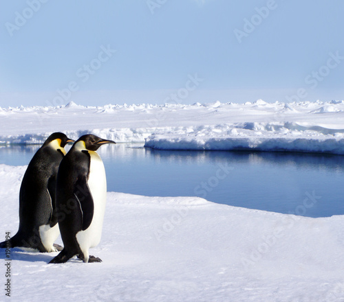 canvas print picture penguins