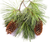 two cones on the fir branch poster