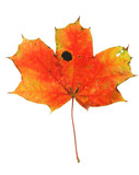vivid maple leaf with holes and spots #2 poster