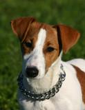 portrait chiot jack russel terrier poster