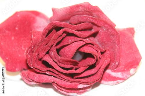 rose 6358