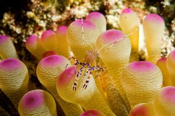 caribbean anemone shrimp