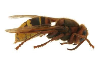 hornet extreme macro