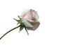 rose mit stengel