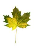 vivid fall leaf poster