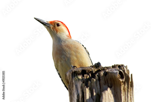isolated woodpecker