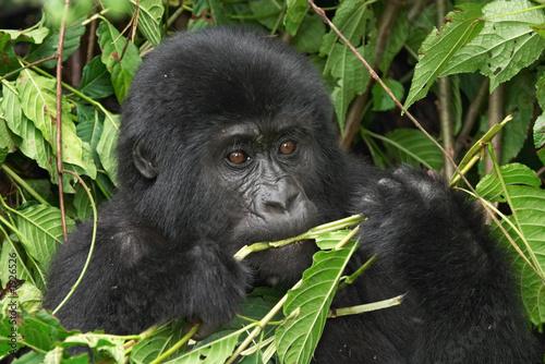 Foto op Aluminium Aap wild gorilla