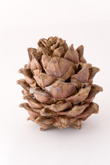 siberian pine cone isolated on white