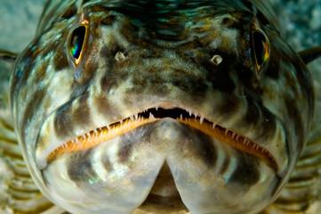 caribbean lizardfish
