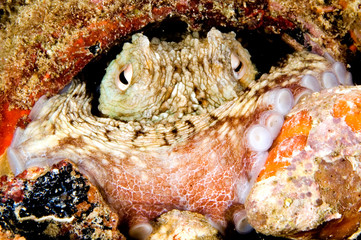 caribbean octopus in pot. bonaire