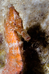 caribbean seahorse