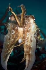 cuttlefish indonesia sulawesi