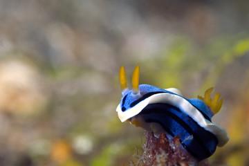 nudibranche indonesia sulawesi