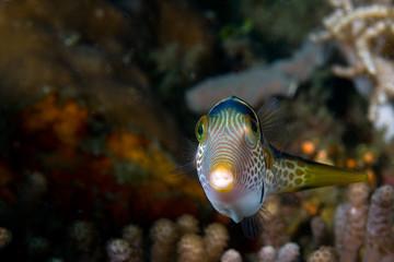 reeffish indonesia sulawesi