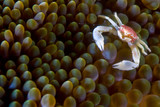 porcelain crab, indonesia