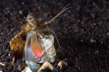 mantis shrimp indonesia sulawesi