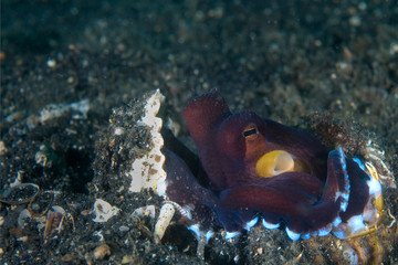 octopus in shell indonesia sulawesi