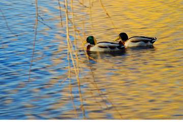 couple ducks