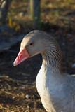 glaring goose poster