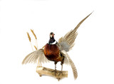 taxidermy mount of pheasant poster