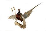ring-necked pheasant mount poster