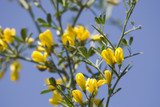 close-up of gorse against clear blue sky poster