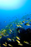 school of snappers over reef indonesia sulawesi