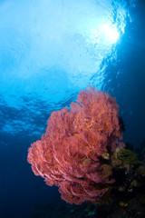 gorgonia coral indonesia sulawesi