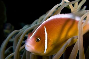 nemo anemone fish indonesia sulawesi