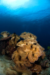 soft corals philippines