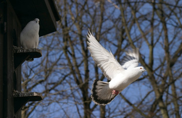 flying pigeon, dove