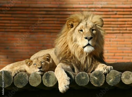 Fotobehang lion family