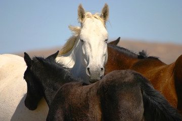 wild horse with foal