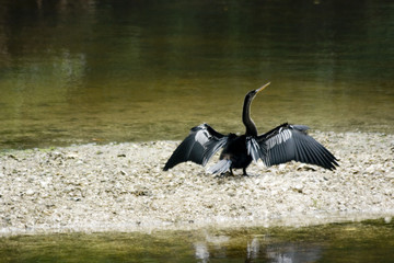 anhinga spreads its wings to dry