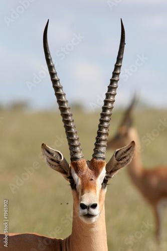 Staande foto Antilope grant gazelle