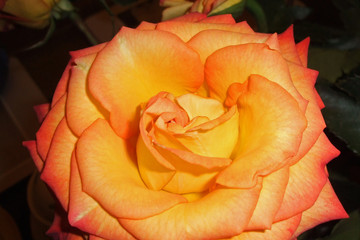 burnt orange rose