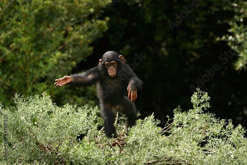 Foto op Canvas Aap baby chimp