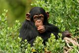 chimp - 1974128