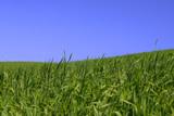 among rich green grass poster