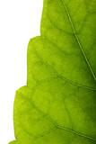 leaf edge poster