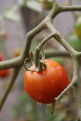 single cherry tomato on vine