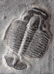 trilobite's larvae