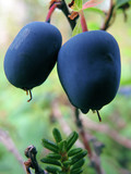 blueberry bush with two berries poster