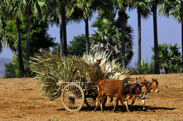 myanmar, bagan: bullock cart in the countryside