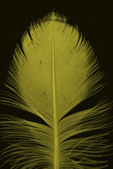 yellow feather on black