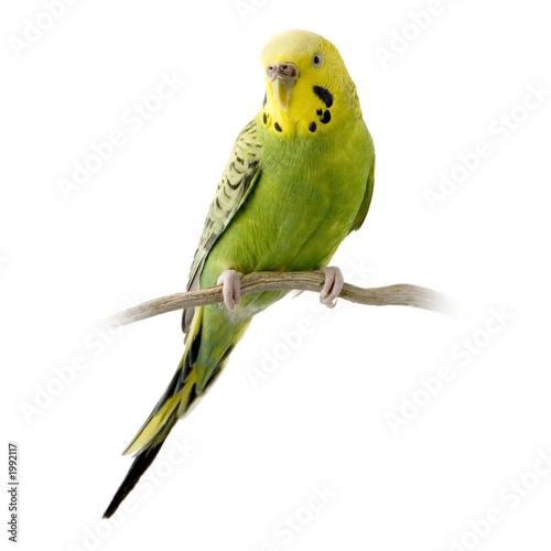perruche jaune et verte