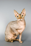 cat of breed the canadian sphynx poster